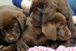 Three of the puppies whose siblings were stolen the hours before their owner Scott Guy was murdered. Photo / NZPA