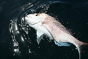 The bright, gleaming shape of a big snapper  surfaced by the boat. Photo / Geoff Thomas