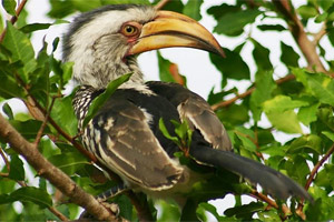 A hornbill in Sabi Sabi game park, South Africa. Photo / Mark Street