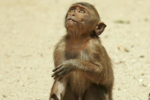 A new and aggressive form of malaria has jumped the species barrier from monkeys to humans. Photo / Brett Phibbs