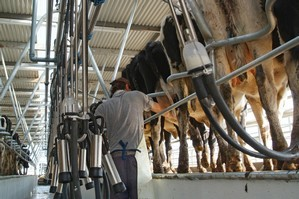 Milking cows at one of NZ Farming Systems Uruguay South American farms. Photo / Supplied