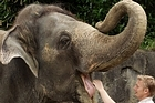 Burma with one of Auckland Zoo's elephant keepers, Andrew Coers. File photo / Herald on Sunday