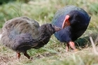 Takahe in their quarantine enclosure on Tiritiri Matangi. Photo / Glenn Jeffrey