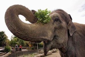 Burma the elephant at Auckland Zoo. Photo / Nigel Marple