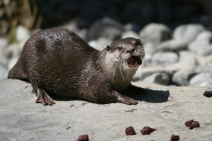 Jin the new Otter on her arrival at Wellington Zoo in 2008. Photo / CityLife South