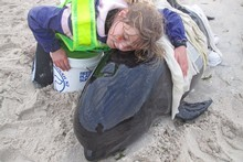Lucy Hale of Houhora, comforting a distressed calf on Karikari Beach yesterday. Photo / Peter De Graaf