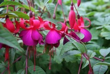 Fuchsia can be cut back to ground level. It will romp back better than ever. Photo / Supplied