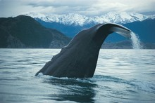 Kaikoura allows visitors to get up close and personal with the titans of the sea. Photo / Whale Watch Kaikoura