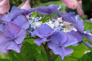 Removing the leaves from hydrangeas encourages more root growth. Photo / Bay of Plenty Times