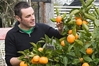 Justin's favourite citrus is the tangelo, but you still can't beat a lemon for its reliability. Photo / Paul Estcourt