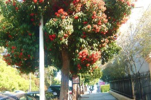 San Franciscans have grown to hate pohutukawa. Photo / Facebook