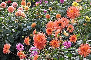 Dahlias are hardy and easy to grow, tolerating most soil types and growing conditions. Photo / Bay of Plenty Times