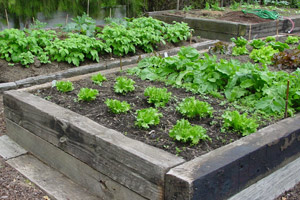 Raised beds allow soil to warm up quicker - a handy boost for your early spring planting regime. Photo / Bay of Plenty Times