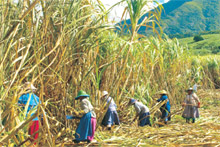 The harvest is done by hand in Mauritius' many smaller sugarcane fields. Photo / Pamela Wade