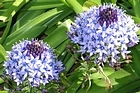 Scilla peruviana is used as a