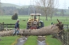 A felled poplar tree across this Te Kauwhata farm driveway meant nobody was going anywhere for a while! Photo / Dawn Stubbs