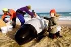 Seven-year-old KokoPeta Botello helps keep a whale damp. Photo / NZPA