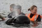 Volunteer Kate Malcolm from Tutukaka comforts a whale moved to a stream yesterday. Photo / Richard Robinson.