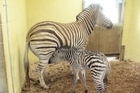 The newborn zebra at Auckland Zoo. Photo / Supplied
