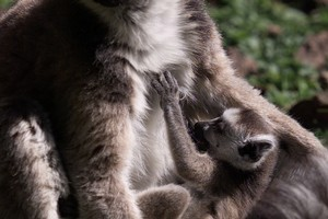 Hamilton Zoo has new born lemurs, the first since the babies (above) who were born in 2002. Photo / Greg Bowker