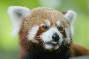 Khosuva's mother Maya, a red panda at Auckland Zoo. Photo / Martin Sykes
