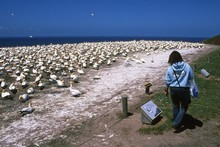 Hawkes Bay Cape Kidnappers Gannet Reserve is a major tourist drawcard. Photo / Paul Rush