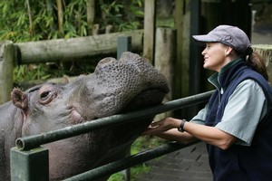 Snorkel the hippopotamus, pictured with keeper Sandra Rice, in 2005. Photo / The Aucklander
