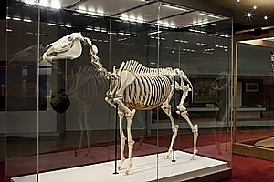 The skeleton of Australasia's most famous horse, Phar Lap, is on display at the Melbourne Museum to help mark the 150th running of the Melbourne Cup, which the horse won in 1930. Photo / Supplied