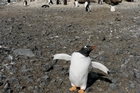 A gentoo chick does a dance of welcome at Brown Bluff in Antarctica. Photo / Jim Eagles