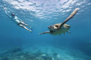 A diver swims with the turtles near Great Barrier Reef. Photo / Tourism Queensland.