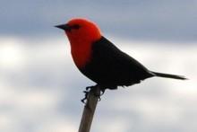 Scarlet headed blackbird at Esteros del Ibera in Argentina. Photo / Antonella Gorosabel