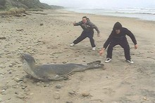 Harley McKenzie, left, and Michael Mathews pose with a leopard seal they attacked. Photo / Supplied