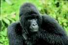 Rwanda uses its military to help manage the gorillas' territory. Photo / Aardvark Safaris
