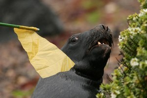 A flag on a stick keeps Rambo the Hooker's sea lion at bay. Photo / Jim Eagles