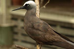 Hundreds of noddies flock to the island during breeding season. Photo / Pamela Wade