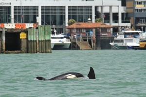 Orcas thrilled city spectators on their way up the harbour. Photo / Harbourmaster