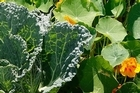 Companion planting: Cabbages and Nasturtiums growing side by side. Photo / Sarah Ivey