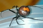 The Australian Redback spider. Photo / Supllied