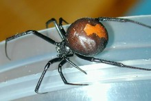 A redback spider. File photo / MAF