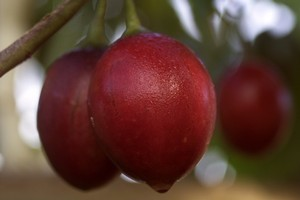 Some tamarillos are  being affected by the North America potato psyllid. Photo / Nicola Topping