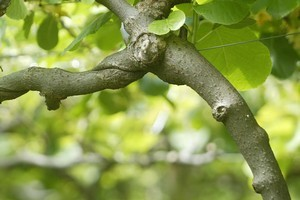 A kiwifruit vine. File photo / Alan Gibson