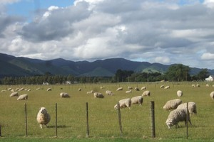 Russian demand for red meat is expected to grow. Photo / Wairarapa Times-Age