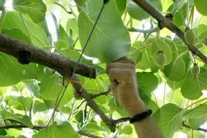 Kiwifruit vines. Photo / Steven McNicholl