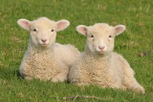 Twin spring lambs at Atiu Creek Regional Park. Photo / Liz Light