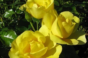 Rust fungal infections, best treated in winter, can easily attack your roses. Photo / Supplied
