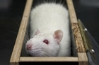 As decades of experiments with rats show, if incentives are well understood, most of us will push the appropriate levers. Photo / Thinkstock