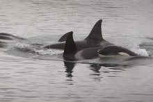 Experts say the orcas were searching out stingrays in Tauranga Harbour. Photo / Bay of Plenty Times
