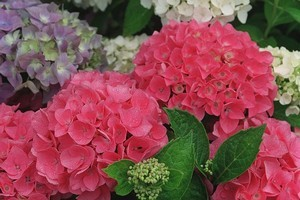 Hydrangeas come in as many different colours and are a wonderfully showy addition to the garden. Photo / Glenn Jeffrey