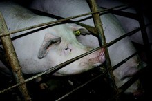 A pig being held in a sow crate. Photo / Supplied