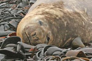 An elephant seal on Macquarie Island. Photo / Jim Eagles